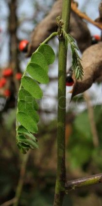 Abrus precatorius - Leaf (note symptoms of drought stress) - Click to enlarge!