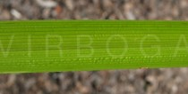 Cyperus eragrostis - Upper and lower surface of leaf - Click to enlarge!