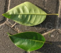 Solandra maxima - Upper and lower surface of leaf - Click to enlarge!