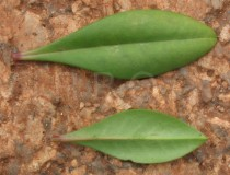 Talinum portulacifolium - Upper and lower surface of leaf - Click to enlarge!