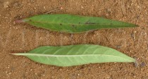 Asclepias curassavica - Upper and lower surface of leaf - Click to enlarge!