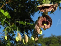 Aristolochia littoralis - Flowers - Click to enlarge!