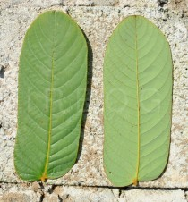 Cassia alata - Upper and lower surface of leaflet - Click to enlarge!